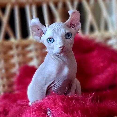 725 Maria  female Elf   kitten