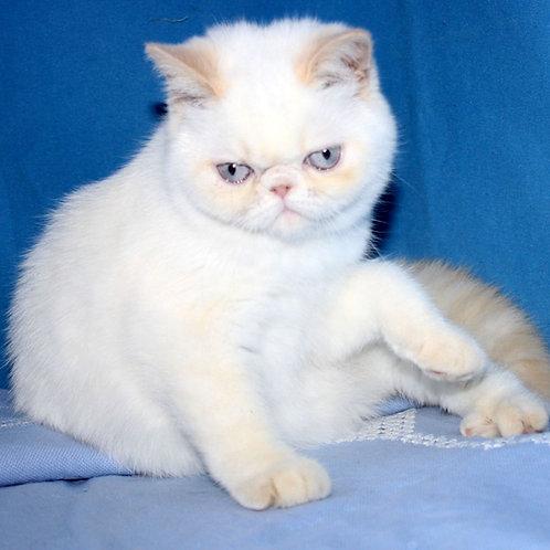 278 Laima  Exotic  female kitten