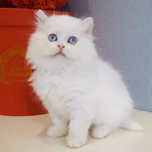 499 Nikko  Scottish straight longhair male kitten