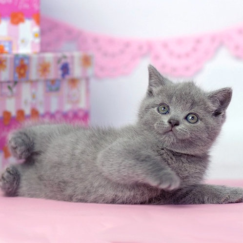 Luna British shorthair female kitten