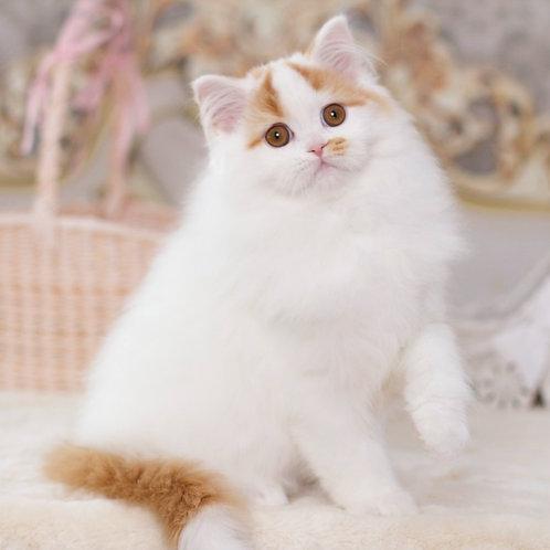 596 Zlatko  Scottish straight longhair male kitten
