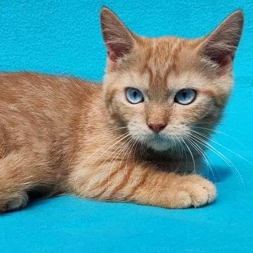 926 Inga Munchkin  shorthair female kitten