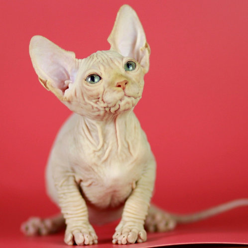 683 Fortuna  female Sphynx   kitten