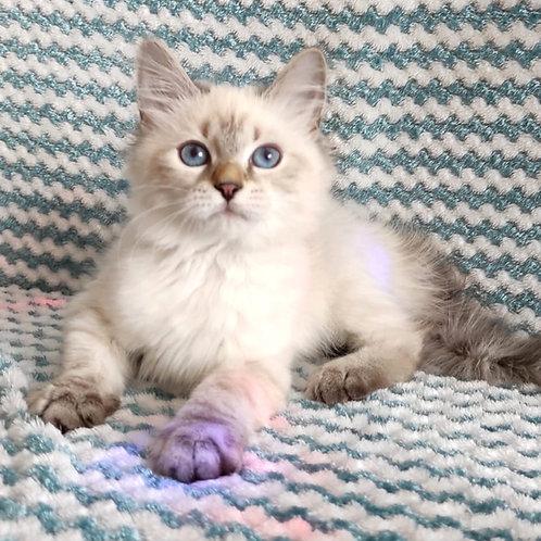 66 Zatanna  Siberian female kitten