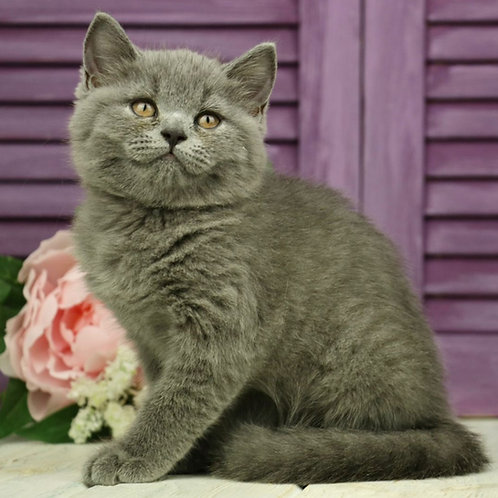 958 Ivory   British shorthair female kitten