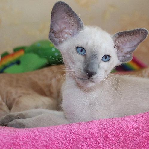 324 Gorgeous Oriental male kitten