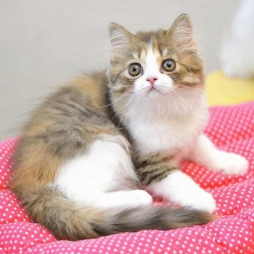 763 Marina   Scottish straight longhair female kitten