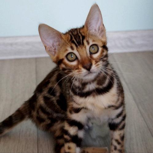 150 Dilyara   purebred Bengal female kitten