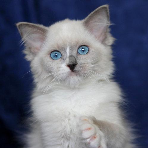 160 Berta    Ragdoll female kitten
