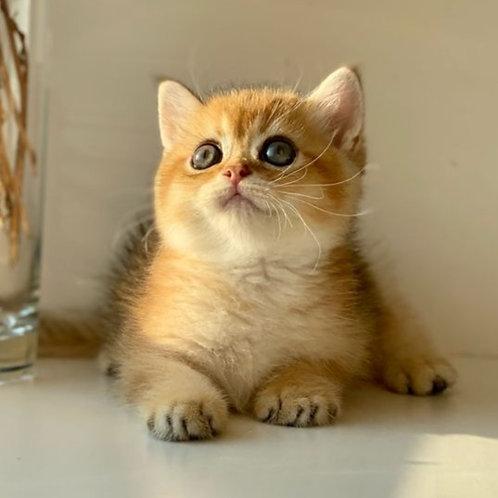 1044 Abby Scottish straight shorthair male kitten