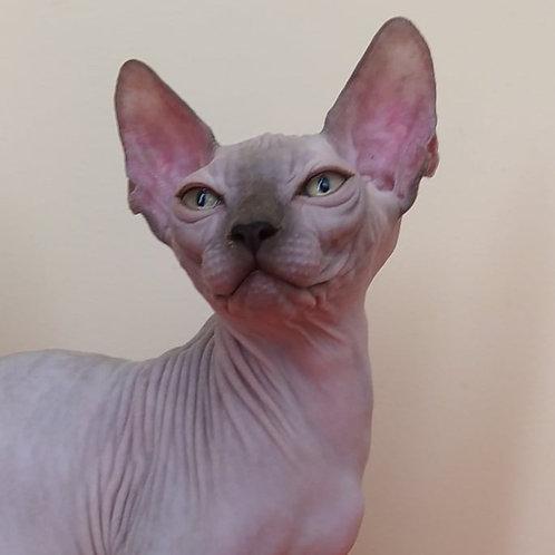 354 Ali   male Sphinx kitten