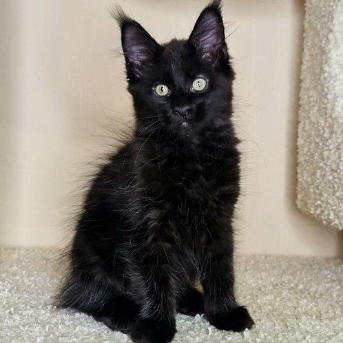 806 Ataman  Maine Coon male kitten