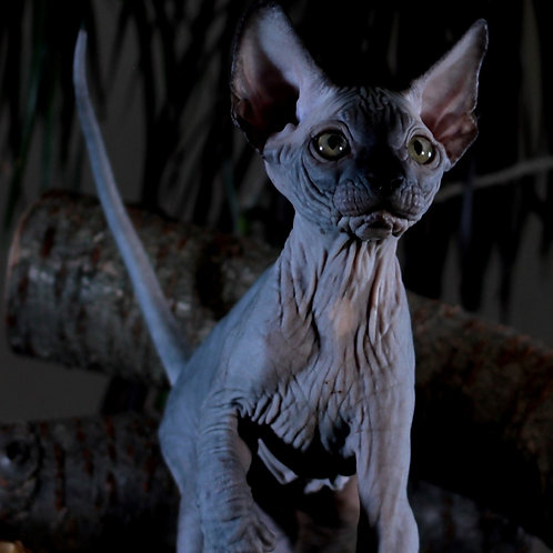 278 Tamerlan   male Sphinx kitten