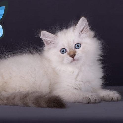 635 Triton Siberian male kitten