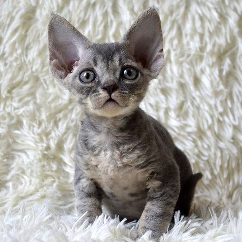 267 Vinz  male kitten Devon Rex