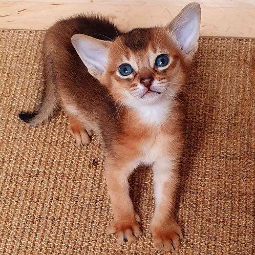 72 Gucci   purebred Abyssinian male kitten
