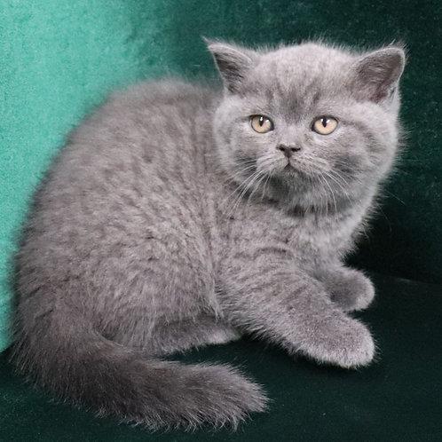 782 Beatrice   Scottish straight shorthair female kitten