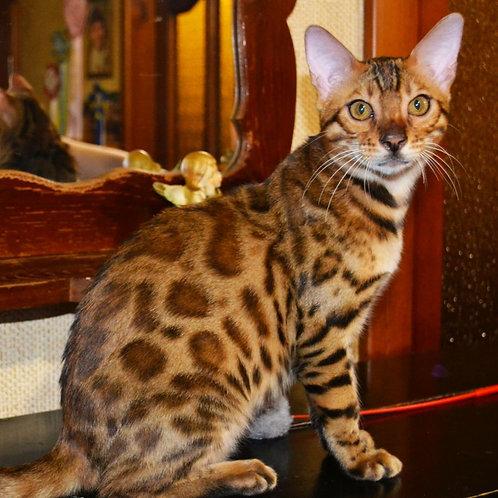 136 Nolan   purebred Bengal male kitten
