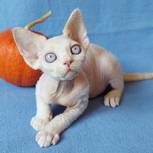 491 Stitch  male kitten Devon Rex