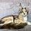 Thumbnail: 598 Ornella  Maine Coon female kitten