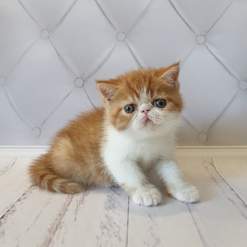 Jordan Exotic shorthair male kitten