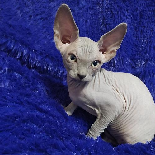 395 Saphir male Sphinx kitten