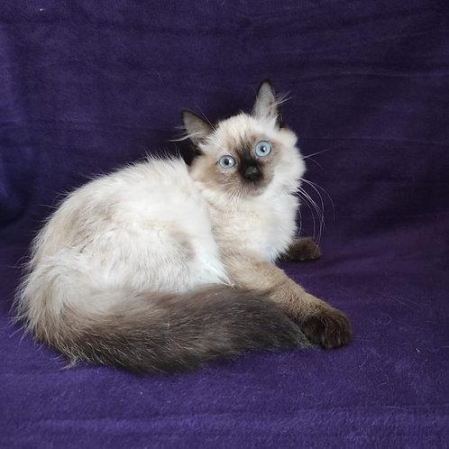 581 Vicki Siberian female kitten