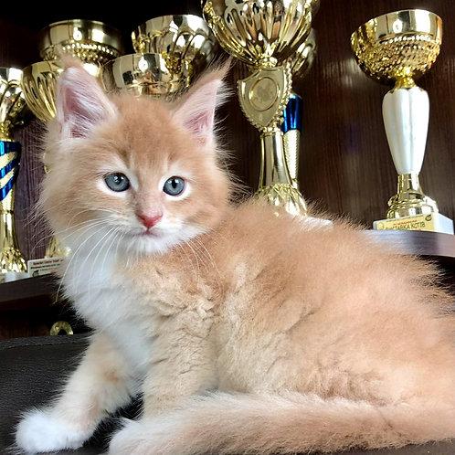 173 McCloud   Maine Coon male kitten