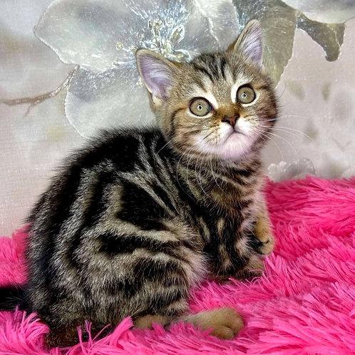 1091 Adel  British shorthair female kitten