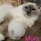 Thumbnail: 182 Ninette  purebred Ragdoll female kitten