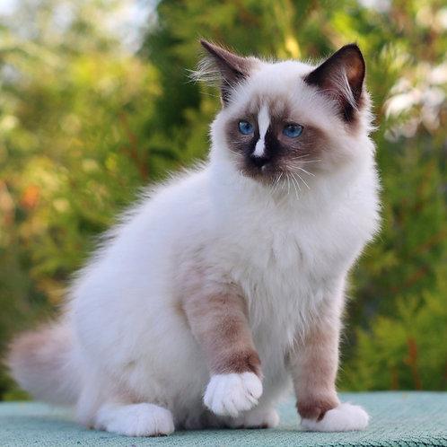 281 Emelya  Ragdoll male kitten