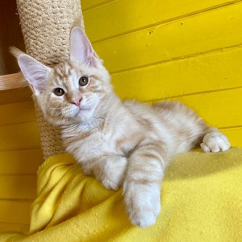 Impulse Maine Coon male kitten