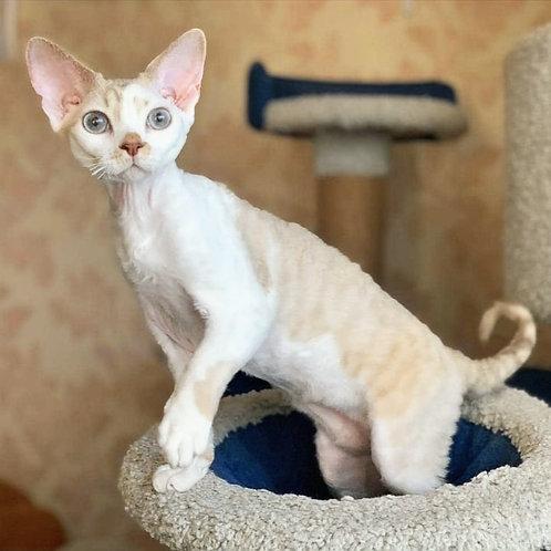 385 Makar   male kitten Devon Rex