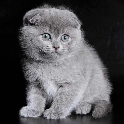 630 Badj Scottish fold shorthair male kitten