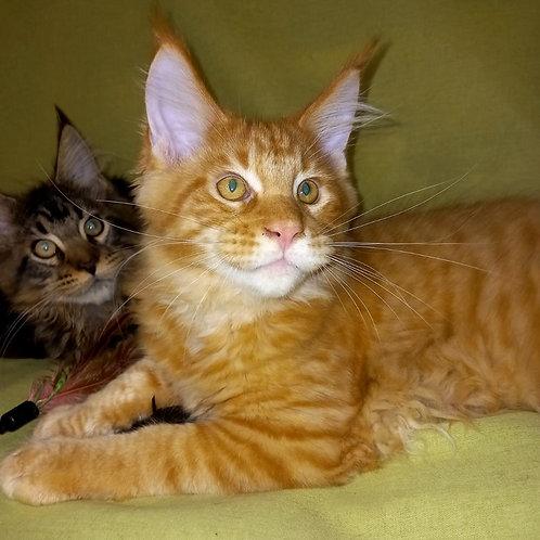 733 Farro   Maine Coon male kitten