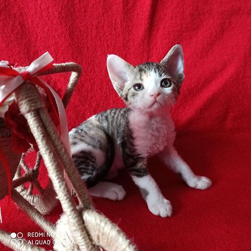 Imany female kitten Devon Rex