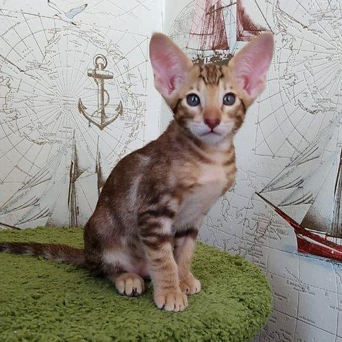 383 Vaselisa   Oriental female kitten