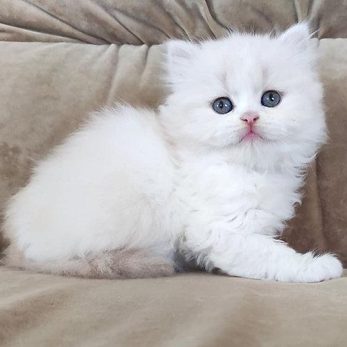 Camille Scottish straight longhair female kitten