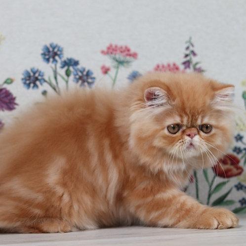 212 Hank   Persian  male kitten