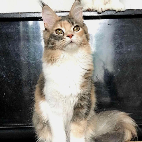 Gina Maine Coon female kitten