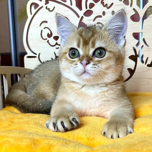 1104 Paul Scottish straight shorthair male kitten