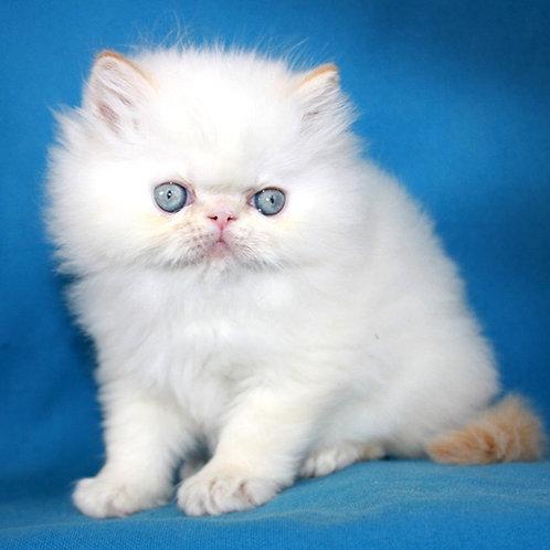 82 Potap  Persian  male kitten