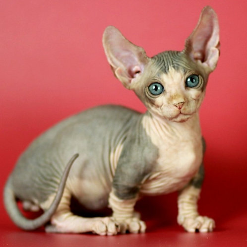 682 Everest male Bambino  kitten