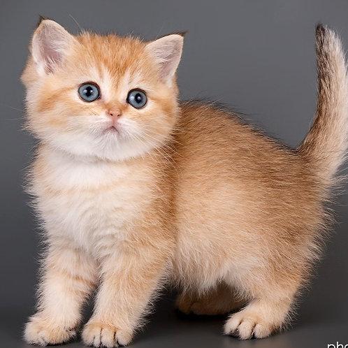 597 Kelly  British shorthair female kitten