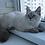 Thumbnail: 246 King     Siberian male kitten