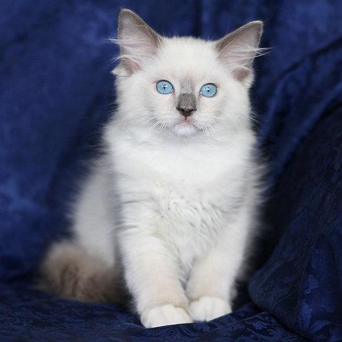 163 Cristal    Ragdoll male kitten