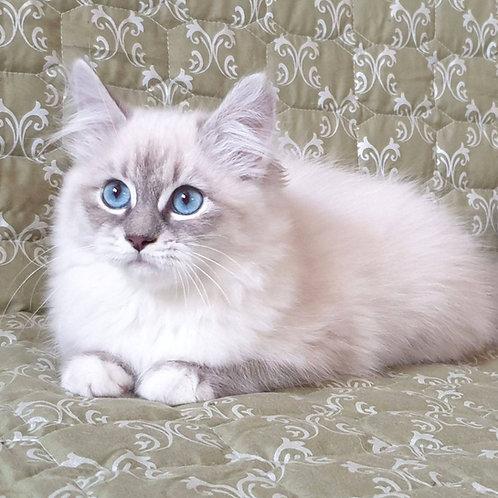 324 Ofelia  Siberian female kitten