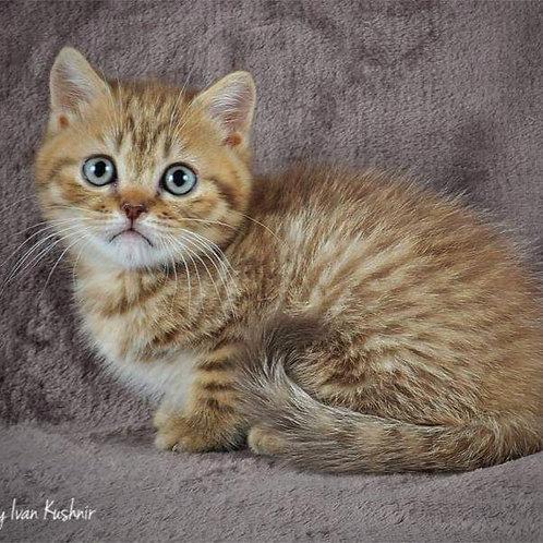 714 Leon   Scottish straight shorthair male kitten