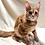 Thumbnail: 751 Betty  Maine Coon female kitten