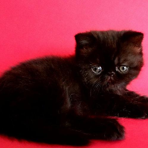 Vinsent Exotic shorthair male kitten